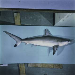 To NMNH Extant Collection (Carcharhinus sorrah FIN027614 Slide 120 mm)