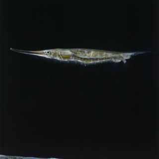 To NMNH Extant Collection (Aeoliscus strigatus FIN027625 Slide 120 mm)