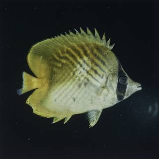 To NMNH Extant Collection (Chaetodon FIN027647 Slide 120 mm)