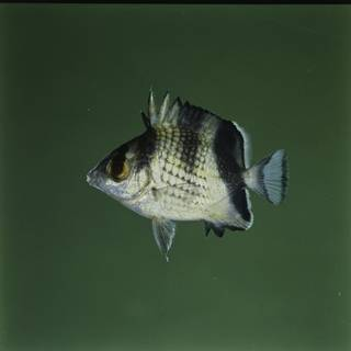 To NMNH Extant Collection (Chaetodon argentatus FIN027650 Slide 120 mm)