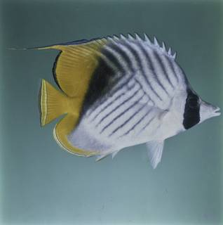 To NMNH Extant Collection (Chaetodon auriga FIN027654B Slide 120 mm)