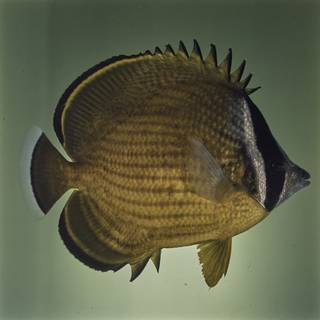 To NMNH Extant Collection (Chaetodon auripes FIN027659 Slide 120 mm)