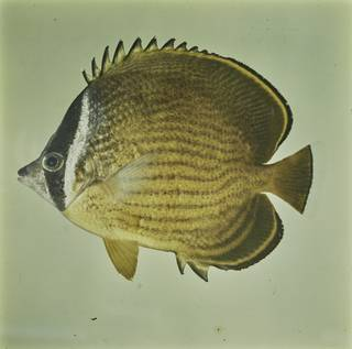 To NMNH Extant Collection (Chaetodon auripes FIN027660 Slide 120 mm)