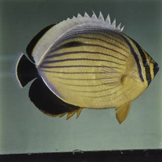 To NMNH Extant Collection (Chaetodon austriacus FIN027661 Slide 120 mm)