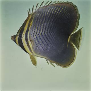 To NMNH Extant Collection (Chaetodon baronessa FIN027662 Slide 120 mm)