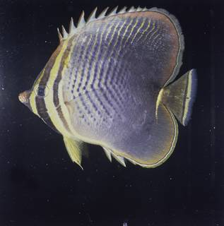 To NMNH Extant Collection (Chaetodon baronessa FIN027662B Slide 120 mm)