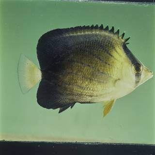 To NMNH Extant Collection (Chaetodon blackburnii FIN027669 Slide 120 mm)
