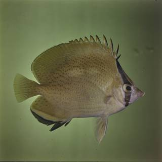To NMNH Extant Collection (Chaetodon citrinellus FIN027672 Slide 120 mm)