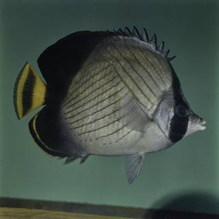 To NMNH Extant Collection (Chaetodon decussatus FIN027682 Slide 120 mm)