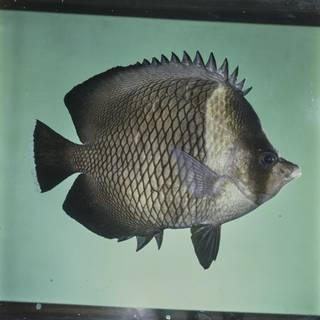 To NMNH Extant Collection (Chaetodon dialeucos FIN027683 Slide 120 mm)