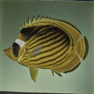 To NMNH Extant Collection (Chaetodon fasciatus FIN027689 Slide 120 mm)
