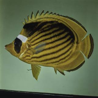 To NMNH Extant Collection (Chaetodon fasciatus FIN027690 Slide 120 mm)
