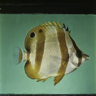 To NMNH Extant Collection (Chaetodon hoefleri FIN027699 Slide 120 mm)