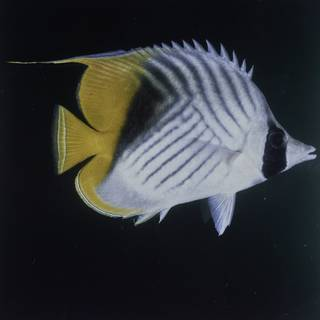 To NMNH Extant Collection (Chaetodon auriga FIN027654 Slide 120 mm)