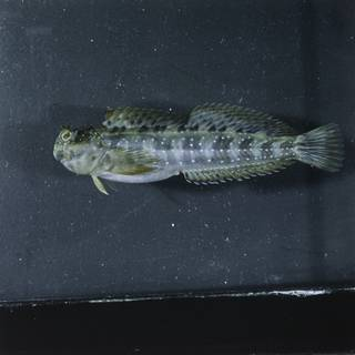 To NMNH Extant Collection (Istiblennius meleagris FIN027047 Slide 120 mm)