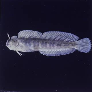 To NMNH Extant Collection (Istiblennius zebra FIN027056 Slide 120 mm)