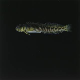 To NMNH Extant Collection (Omobranchus FIN027090 Slide 120 mm)