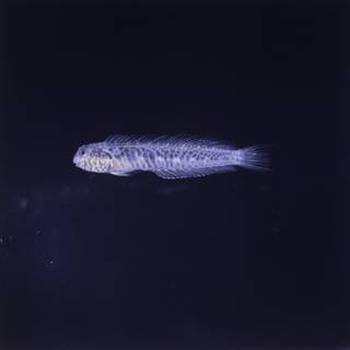 To NMNH Extant Collection (Omobranchus FIN027091 Slide 120 mm)