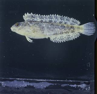 To NMNH Extant Collection (Petroscirtes ancylodon FIN027120 Slide 120 mm)