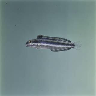 To NMNH Extant Collection (Petroscirtes breviceps FIN027122 Slide 120 mm)