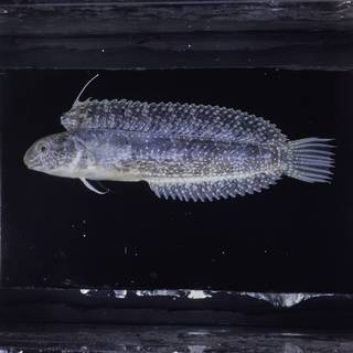 To NMNH Extant Collection (Petroscirtes lupus FIN027124 Slide 120 mm)
