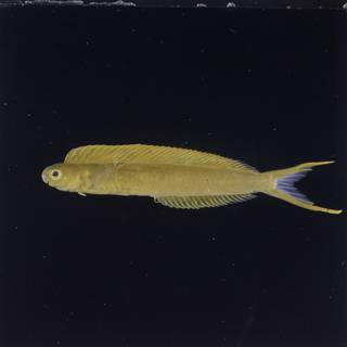 To NMNH Extant Collection (Plagiotremus laudandus FIN027143 Slide 120 mm)