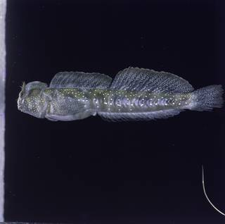 To NMNH Extant Collection (Praealticus bilineatus FIN027165 Slide 120 mm)