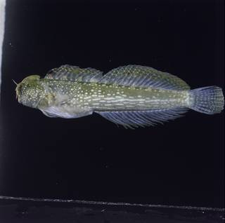 To NMNH Extant Collection (Salarias luctuosus FIN027194 Slide 120 mm)