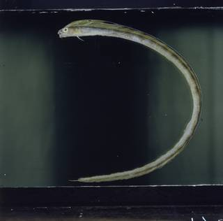 To NMNH Extant Collection (Xiphasia setifer FIN027207 Slide 120 mm)