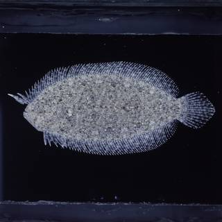 To NMNH Extant Collection (Asterorhombus intermedius FIN027231 Slide 120 mm)