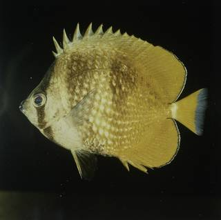 To NMNH Extant Collection (Chaetodon kleinii FIN027701 Slide 120 mm)