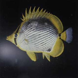 To NMNH Extant Collection (Chaetodon melannotus FIN027718 Slide 120 mm)