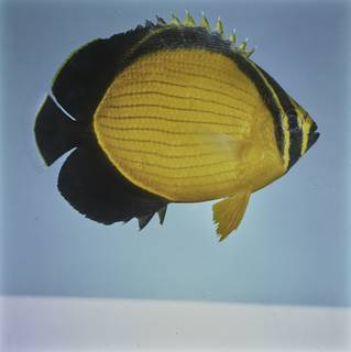 To NMNH Extant Collection (Chaetodon melapterus FIN027721 Slide 120 mm)