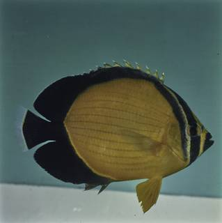 To NMNH Extant Collection (Chaetodon melapterus FIN027722 Slide 120 mm)