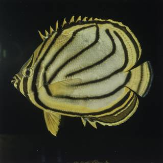 To NMNH Extant Collection (Chaetodon meyeri FIN027728 Slide 120 mm)