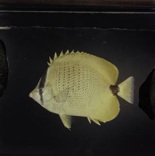 To NMNH Extant Collection (Chaetodon miliaris FIN027729 Slide 120 mm)
