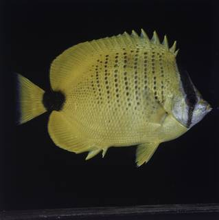 To NMNH Extant Collection (Chaetodon miliaris FIN027730 Slide 120 mm)