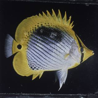 To NMNH Extant Collection (Chaetodon ocellicaudus FIN027737 Slide 120 mm)