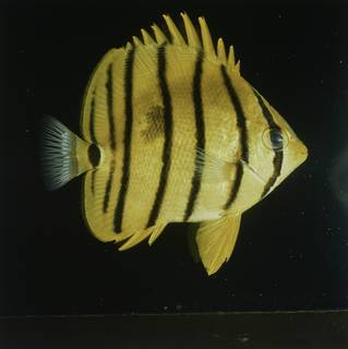 To NMNH Extant Collection (Chaetodon octofasciatus FIN027738 Slide 120 mm)