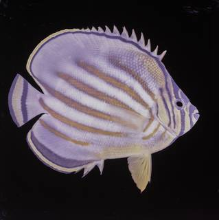 To NMNH Extant Collection (Chaetodon ornatissimus FIN027739 Slide 120 mm)