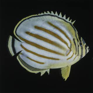 To NMNH Extant Collection (Chaetodon ornatissimus FIN027740 Slide 120 mm)