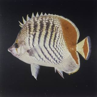 To NMNH Extant Collection (Chaetodon paucifasciatus FIN027741 Slide 120 mm)
