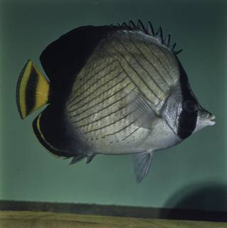 To NMNH Extant Collection (Chaetodon pictus FIN027743 Slide 120 mm)