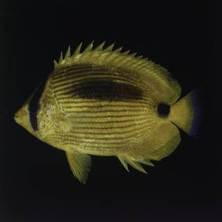 To NMNH Extant Collection (Chaetodon plebeius FIN027744 Slide 120 mm)