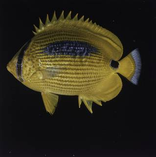 To NMNH Extant Collection (Chaetodon plebeius FIN027745 Slide 120 mm)