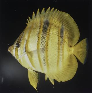 To NMNH Extant Collection (Chaetodon rainfordi FIN027751 Slide 120 mm)