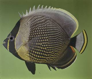 To NMNH Extant Collection (Chaetodon reticulatus FIN027752 Slide 120 mm)