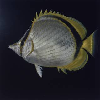 To NMNH Extant Collection (Chaetodon selene FIN027753 Slide 120 mm)