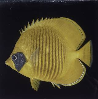 To NMNH Extant Collection (Chaetodon semilarvatus FIN027756 Slide 120 mm)