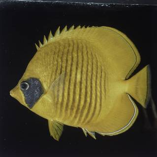 To NMNH Extant Collection (Chaetodon semilarvatus FIN027756B Slide 120 mm)